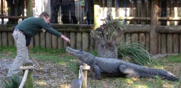 065 Floride StA Alligator1